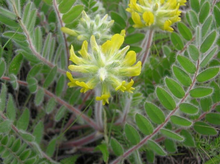 Астрагал шерстистоцветковый - цветки