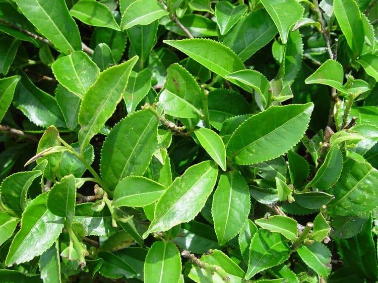 Чайный куст - Листья
