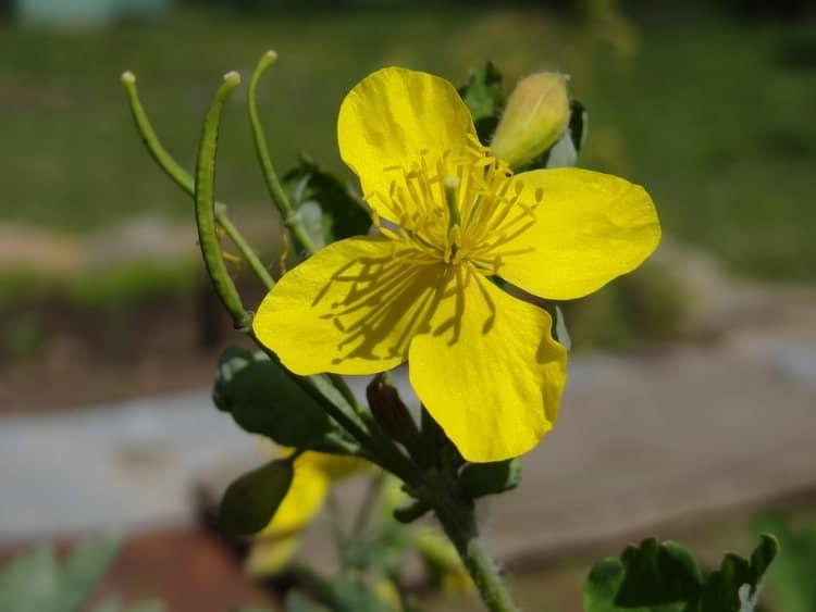 Чистотел - Цветки