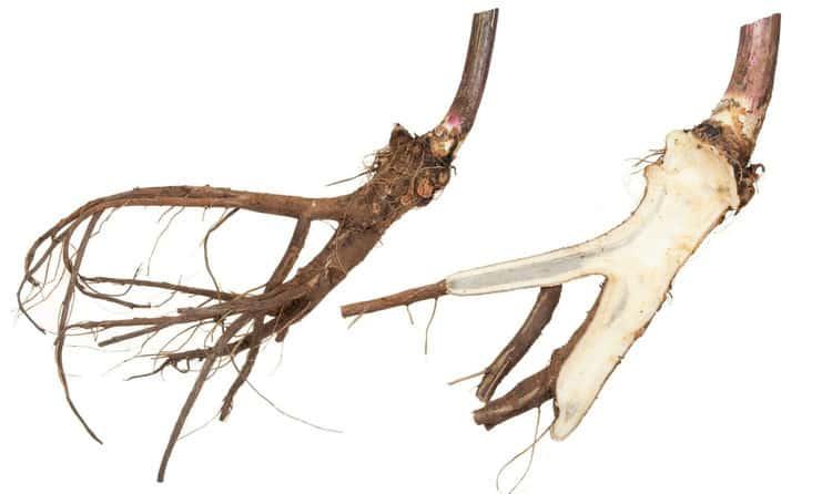 Корневища и корни девясила