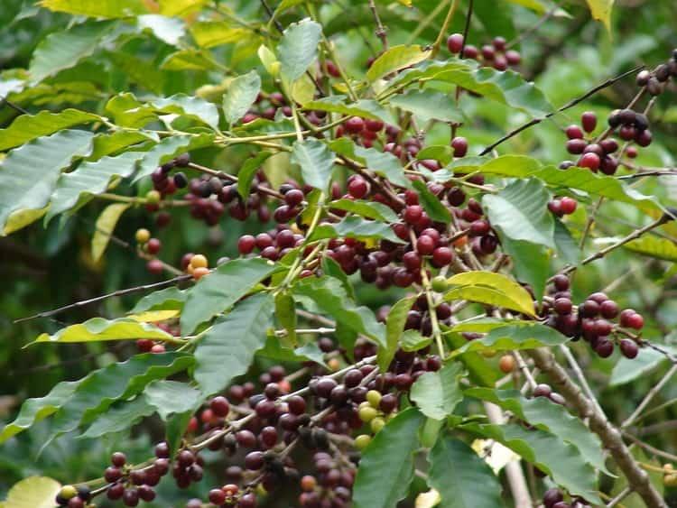 Кофейное дерево - Плоды