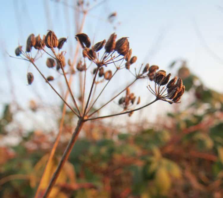 Плоды (семена) петрушки