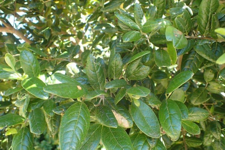 Пеумус - Листья
