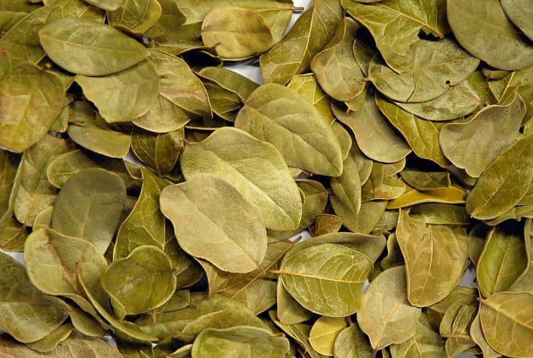 Сухие листья больдо