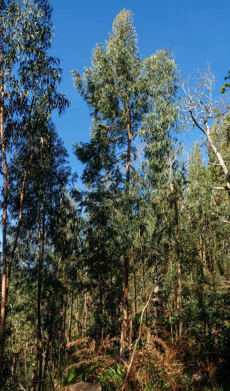 Эвкалипт шариковидный - Дерево