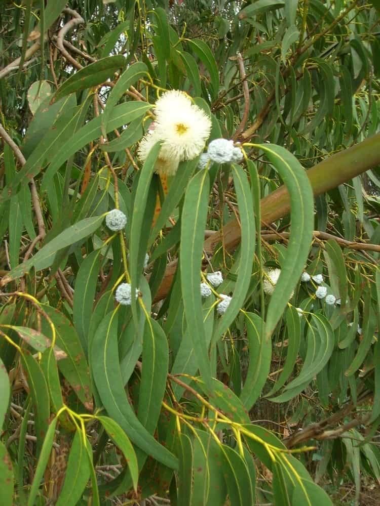 Эвкалипт шариковидный - Листья