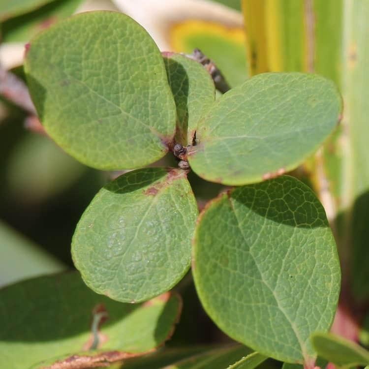 Голубика - Листья