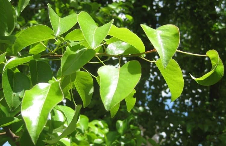 Груша обыкновенная - Листья