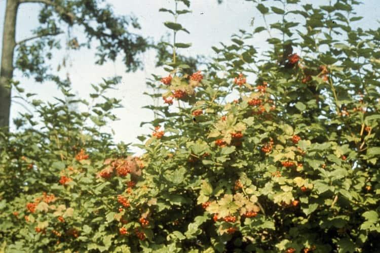 Калина обыкновенная с ягодами
