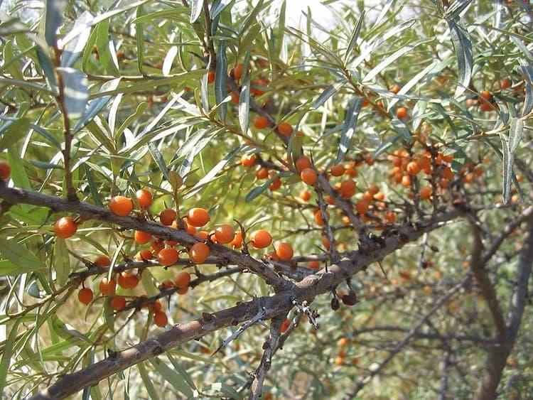 Облепиха крушиновидная - Плоды