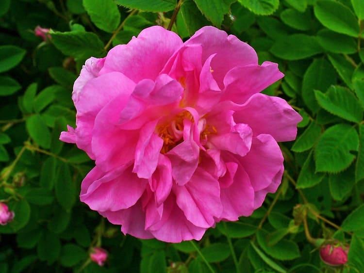 Роза дамасская - Цветок