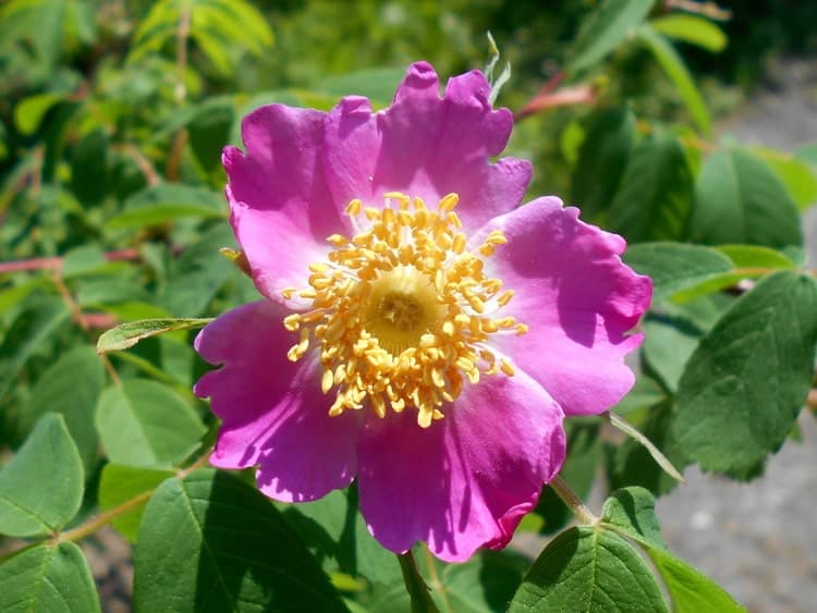 Шиповник майский - Цветок