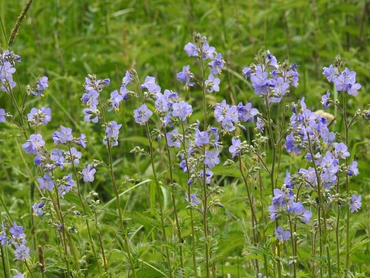 Синюха голубая - Растения