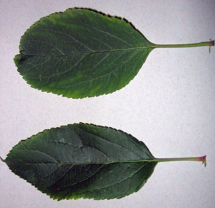 Яблоня домашняя - Листья