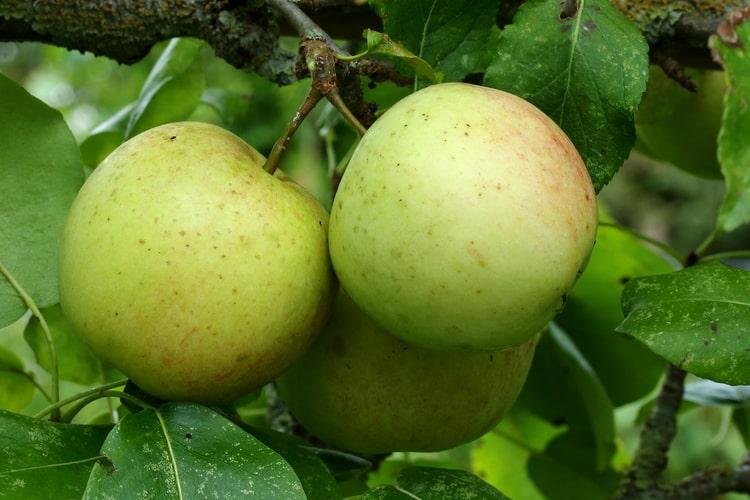 Яблоня домашняя - Плоды (яблоки)